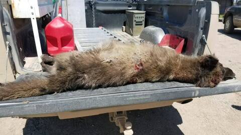 """""""Un gran animal parecido a un lobo fue matado por un ranchero y tie..."""